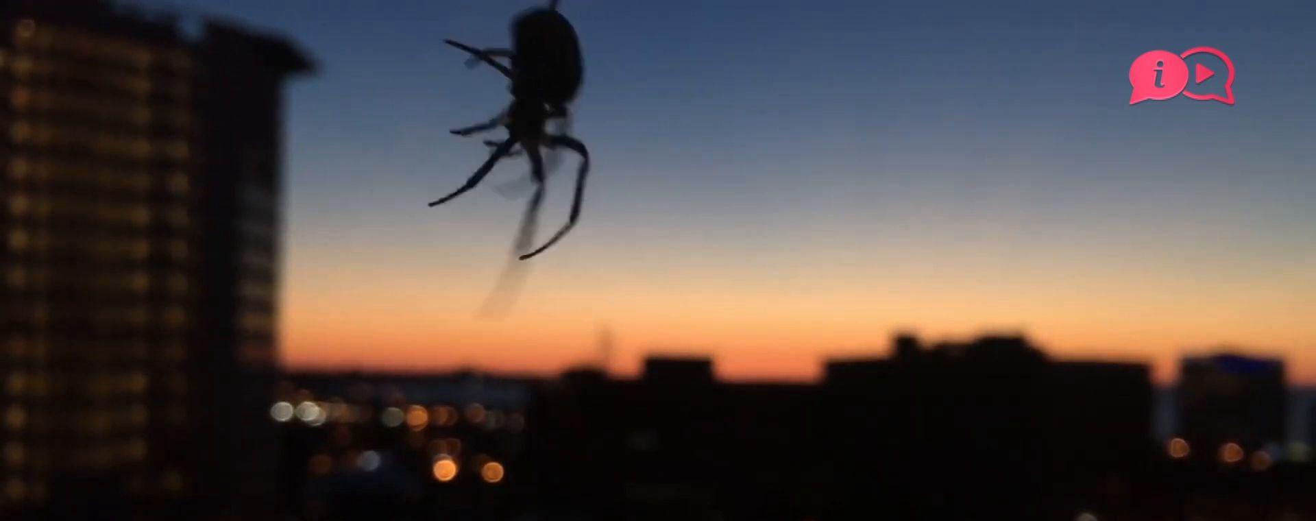 EUROPES BIGGEST  SPIDERS